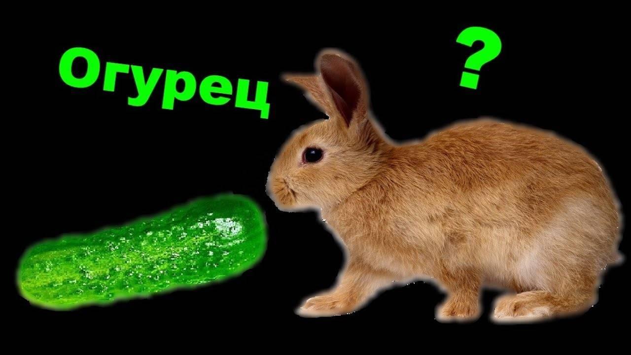 Можно ли кормить кроликов свежими огурцами: правила и нормы кормления