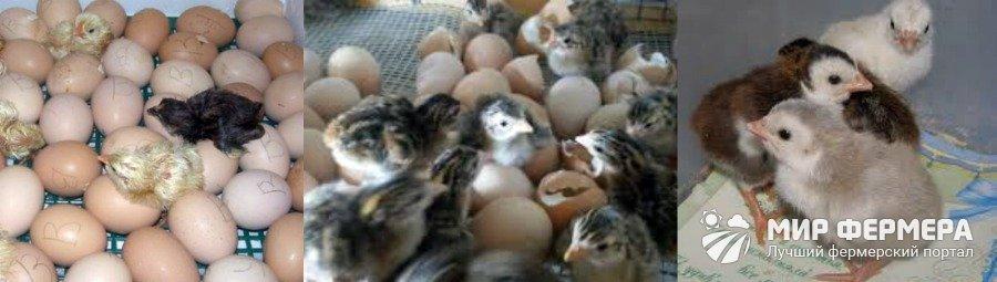 Особенности инкубации яиц мулардов