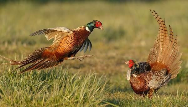 Фазан обыкновенный: описание, разведение и правила охоты на птицу