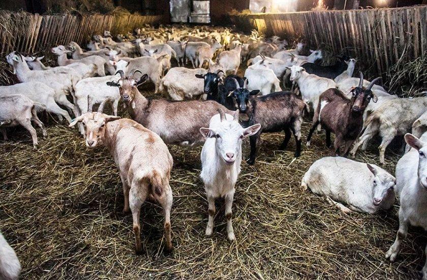 Особенности разведения и содержания коз в домашних условиях, правильный рацион, уход за животными