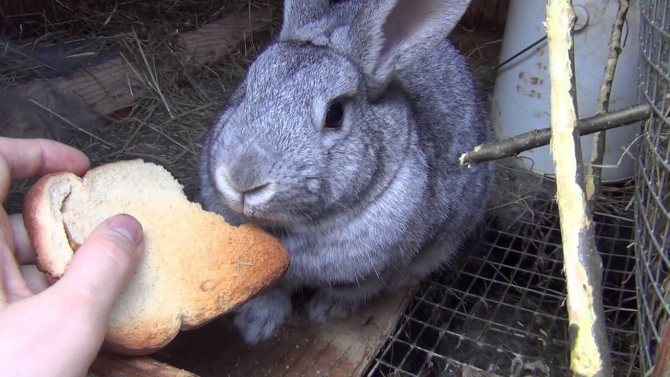 Какие ветки можно давать кроликам: особенности кормления и заготовки