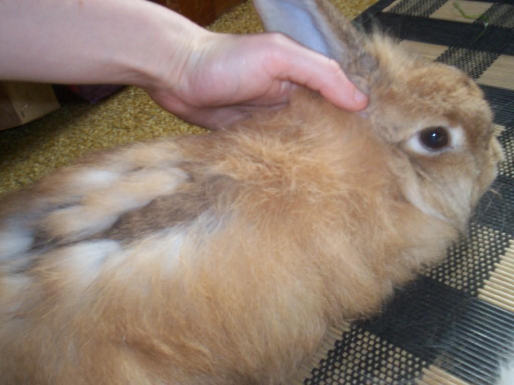 Выпадает шерсть у кролика: почему это происходит, виды лечения