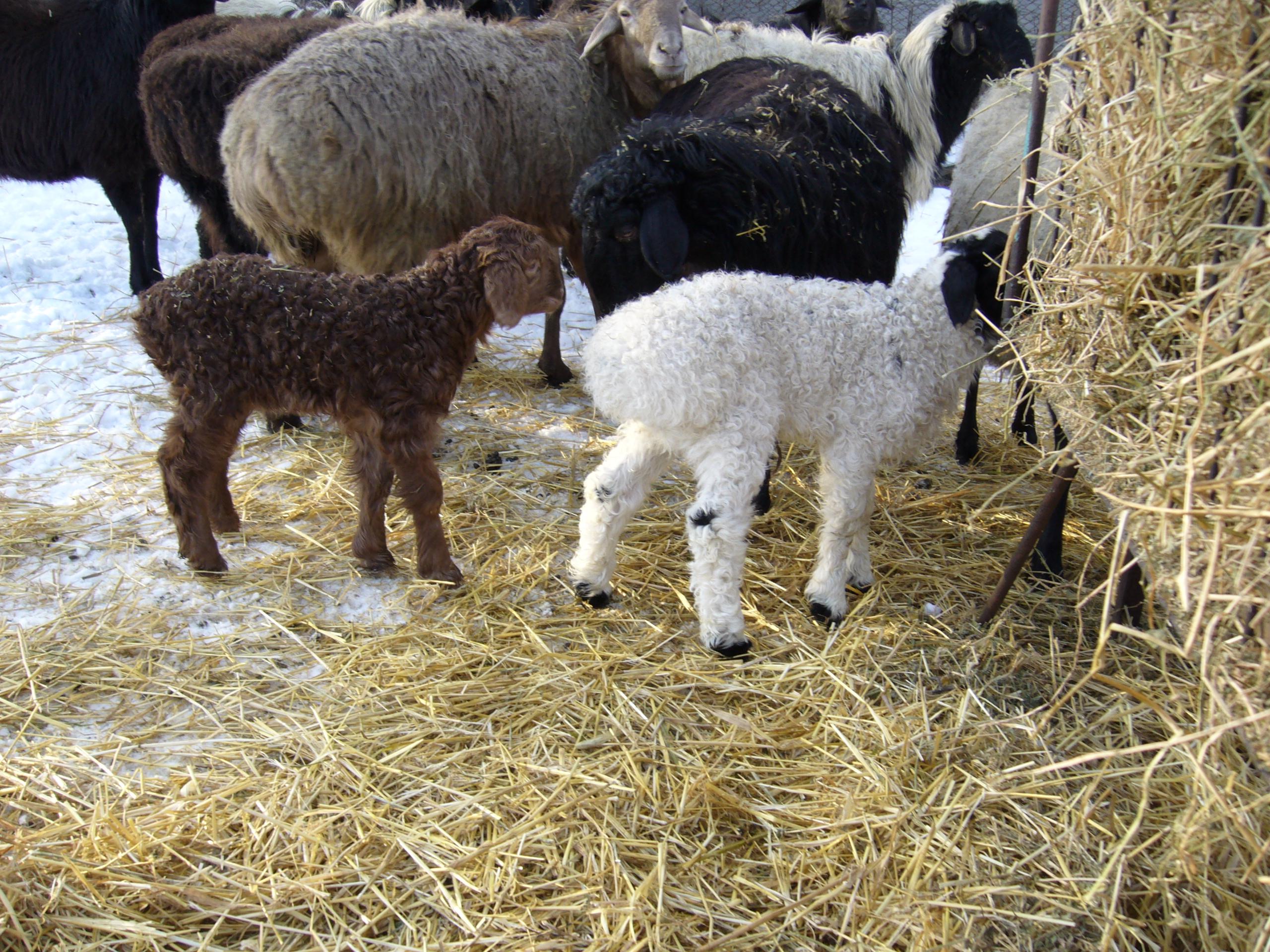 Курдючные овцы: характеристики и история происхождения
