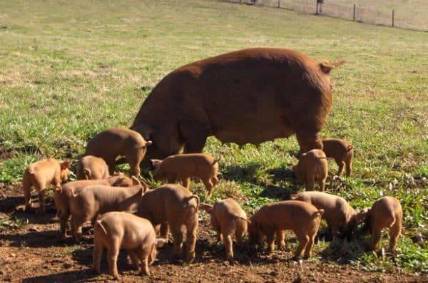 Свиньи дюрок: характеристика, фото, отзывы, описание породы