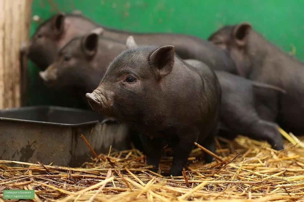 Чем кормить вьетнамских свиней для быстрого роста