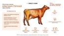 Лучшие молочные породы коров и их характеристика