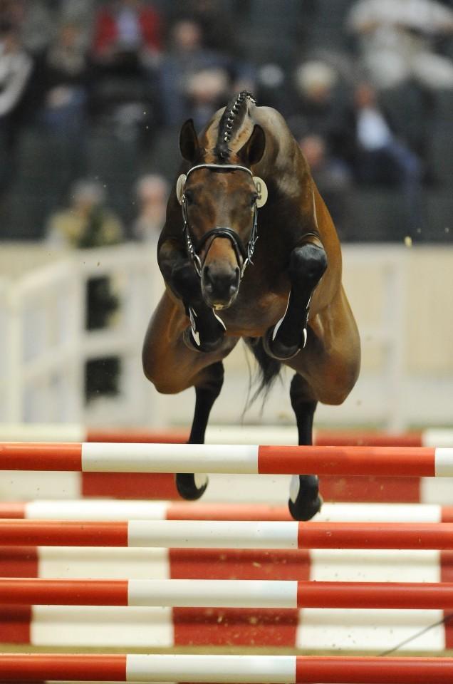 Ганноверская порода лошадей - спортивная и благородная лошадь | мои лошадки