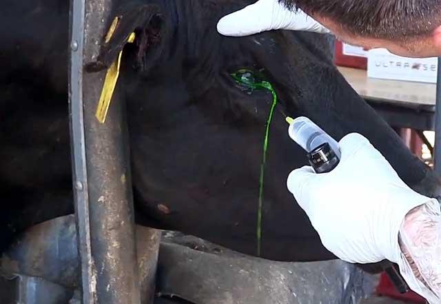 Зад этой коровы — все мы в понедельник утром. учёные нашли рогатым защиту от хищников, но она похожа на пранк