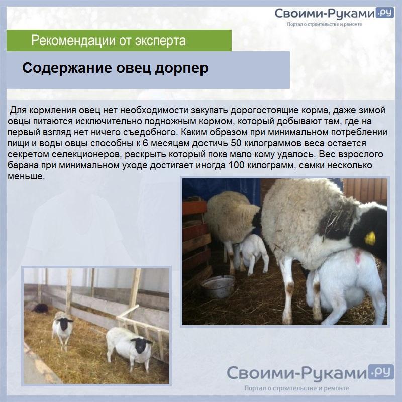 Как разводить баранов в домашних условиях: секреты овцеводства, выбор породы для выращивания