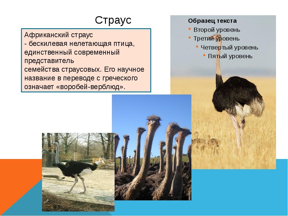 Страусы: особенности, виды и разведение