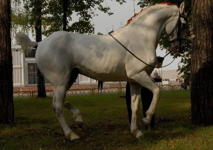 Испанский чистокровный конь: история и выведение андалузской лошади