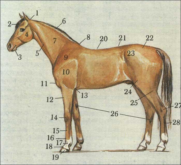 ✅ как лошадь рожает: беременность, срок вынашивания жеребенка, роды - tehnomir32.ru