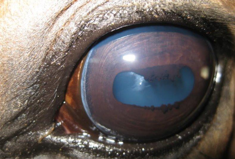Глаза лошади: какого цвета, какие болезни бывают, зачем закрывают по бокам