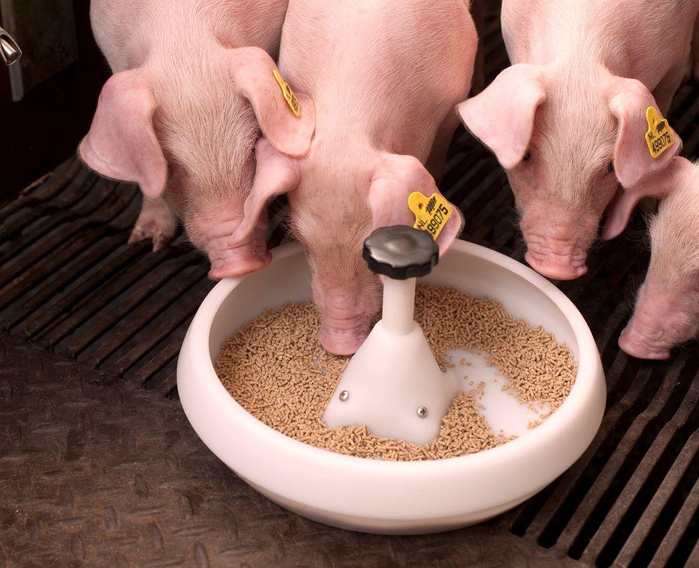 Как правильно откармливать поросят на мясо