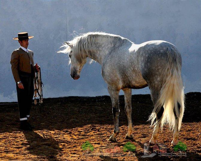 Испанская андалузская порода лошадей: ее обзор и фото