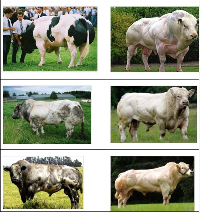 Молочные породы коров: список лучших, характеристики