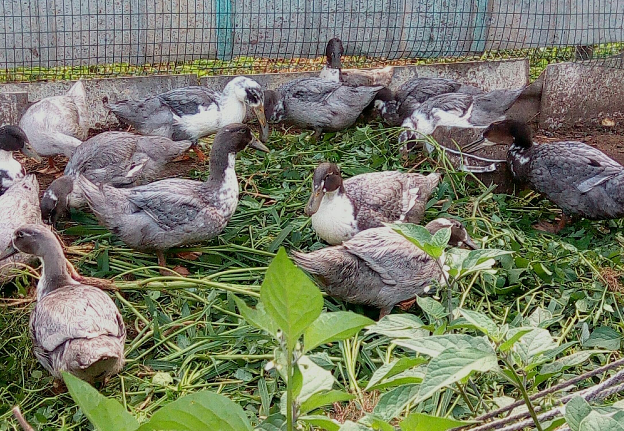 Пекинская утка (21 фото): описание породы и разведение в домашних условиях, выращивание утят и инкубация яиц, характеристика и содержание суточных птенцов, отзывы