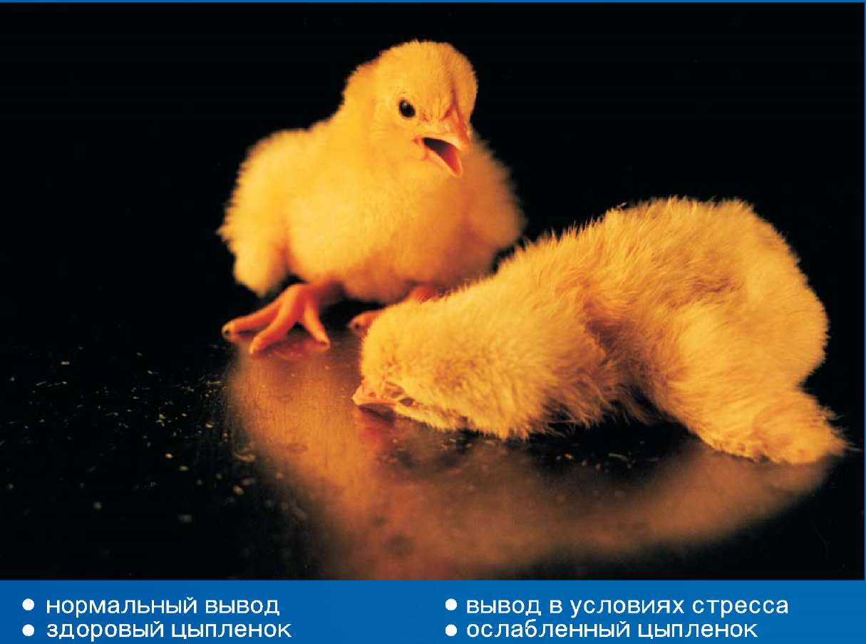 Инкубация яиц – 5 правил успешной инкубации ⋆ все про кур