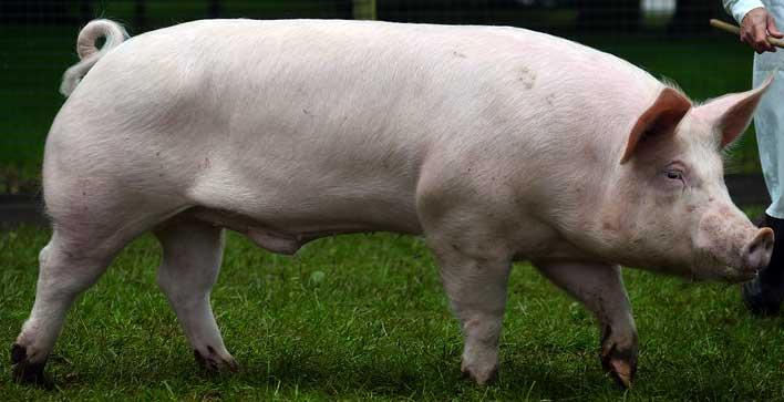 Породы свиней (77 фото): описание видов поросят для домашнего разведения в россии и других странах