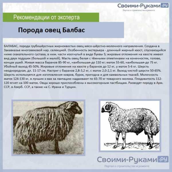 Разведение овец в домашних условиях — cельхозпортал