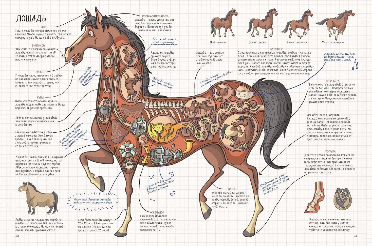 Зубы у лошади: анатомия, определение возраста