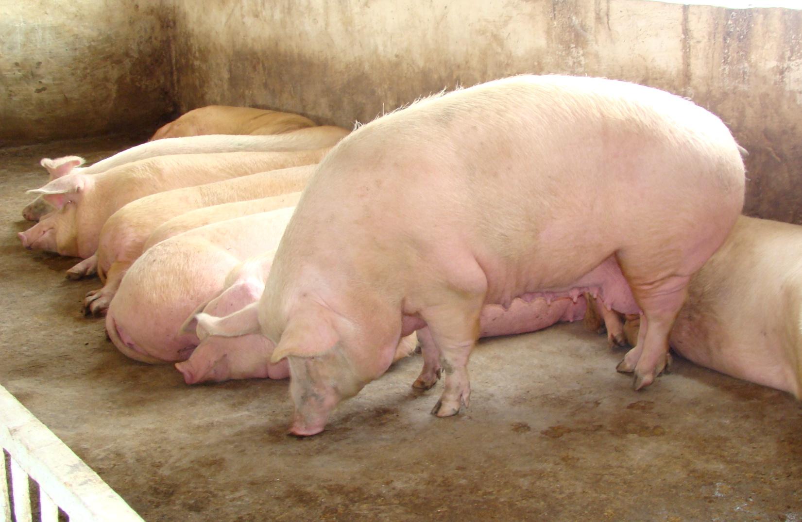 Сколько месяцев ходит беременная свинья