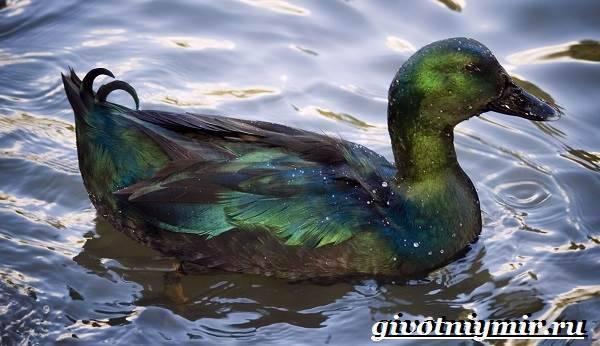 Порода уток каюга. описание, происхождение, характеристики (wolcha.ru)