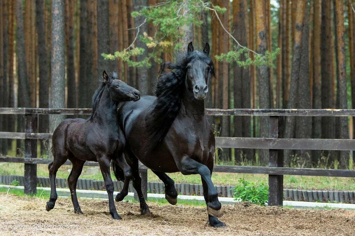 Белая и черная фризская лошадь: особенности породы и характер