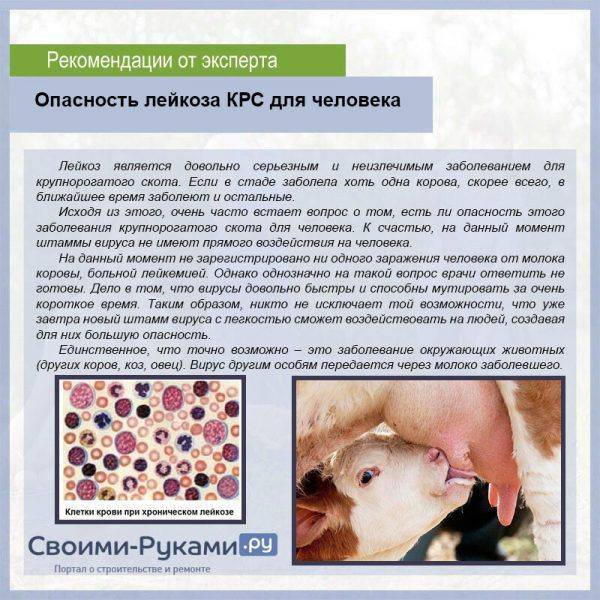Лейкоз у коров: симптомы у крс, можно ли пить молоко, чем опасен для человека