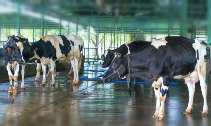 Что такое яловая корова: какие могут быть причины яловости, какие принять меры