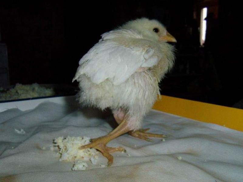 Что делать с курицей, почему не ест, не пьет, сидит нахохлившись, спит на ходу