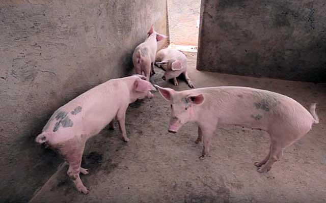 Как зарезать свинью, поросенка в домашних условиях: правила забоя
