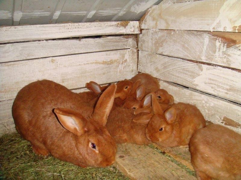 Характеристика красной и белой пород новозеландского кролика