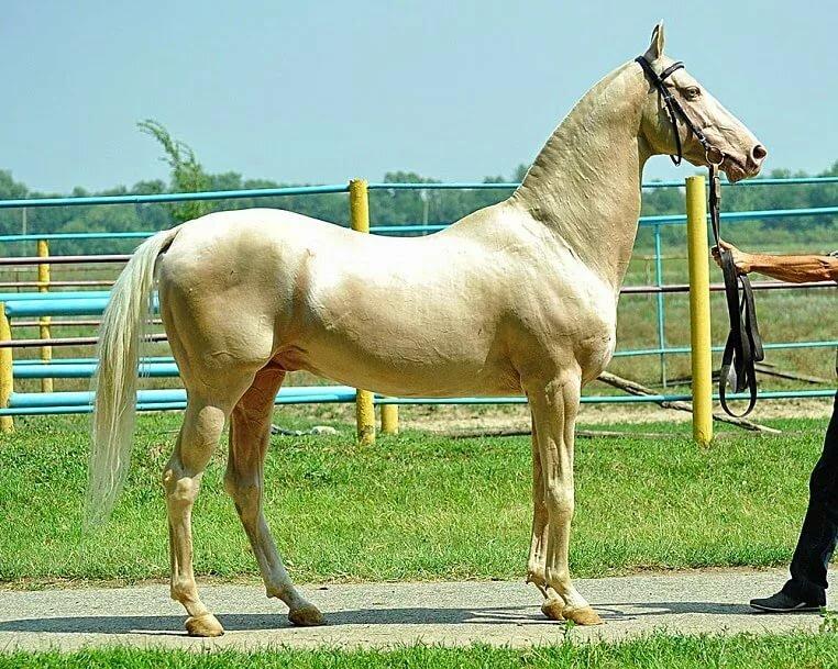 Ахалтекинская лошадь ? фото, описание, ареал, питание, враги ✔