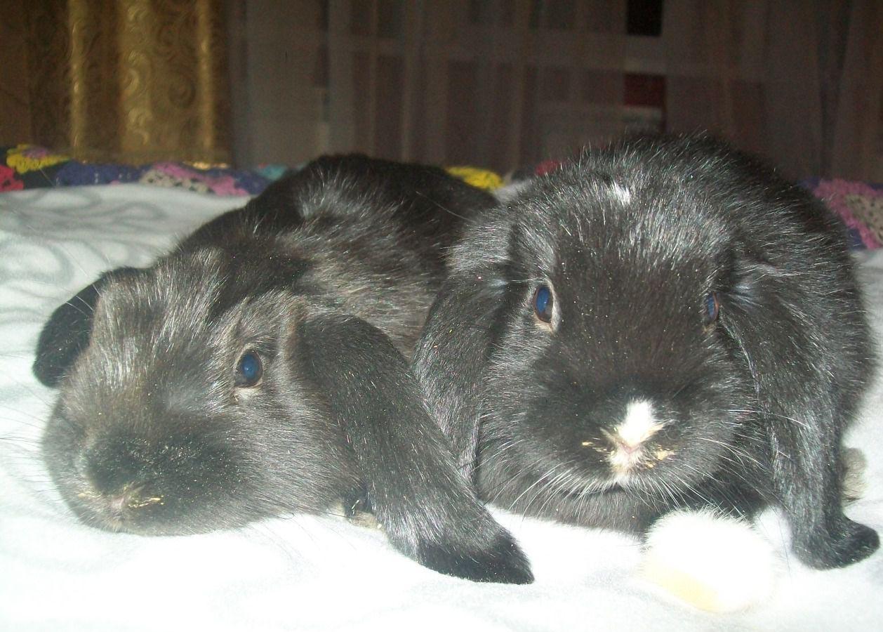 Все о породе кроликов карликовый баран