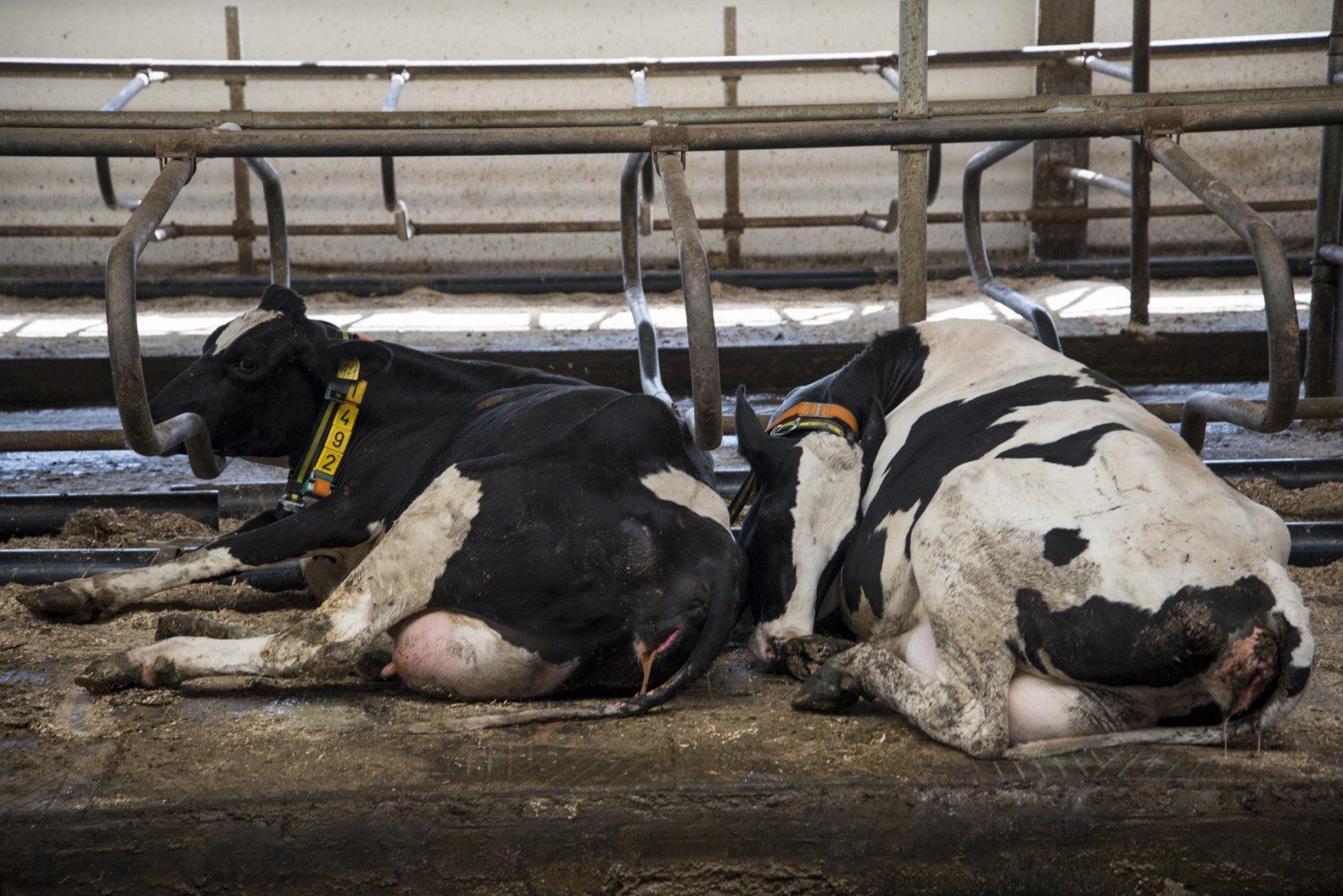Роды и родовспоможение у коров: советы опытных ветеринаров и животноводов