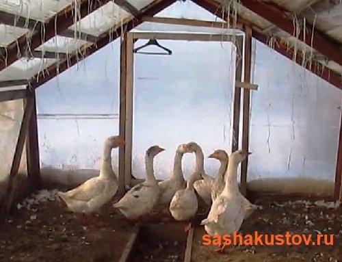 Возводим сарай для гусей самостоятельно