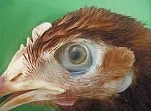 Чем лечить глаза курам?