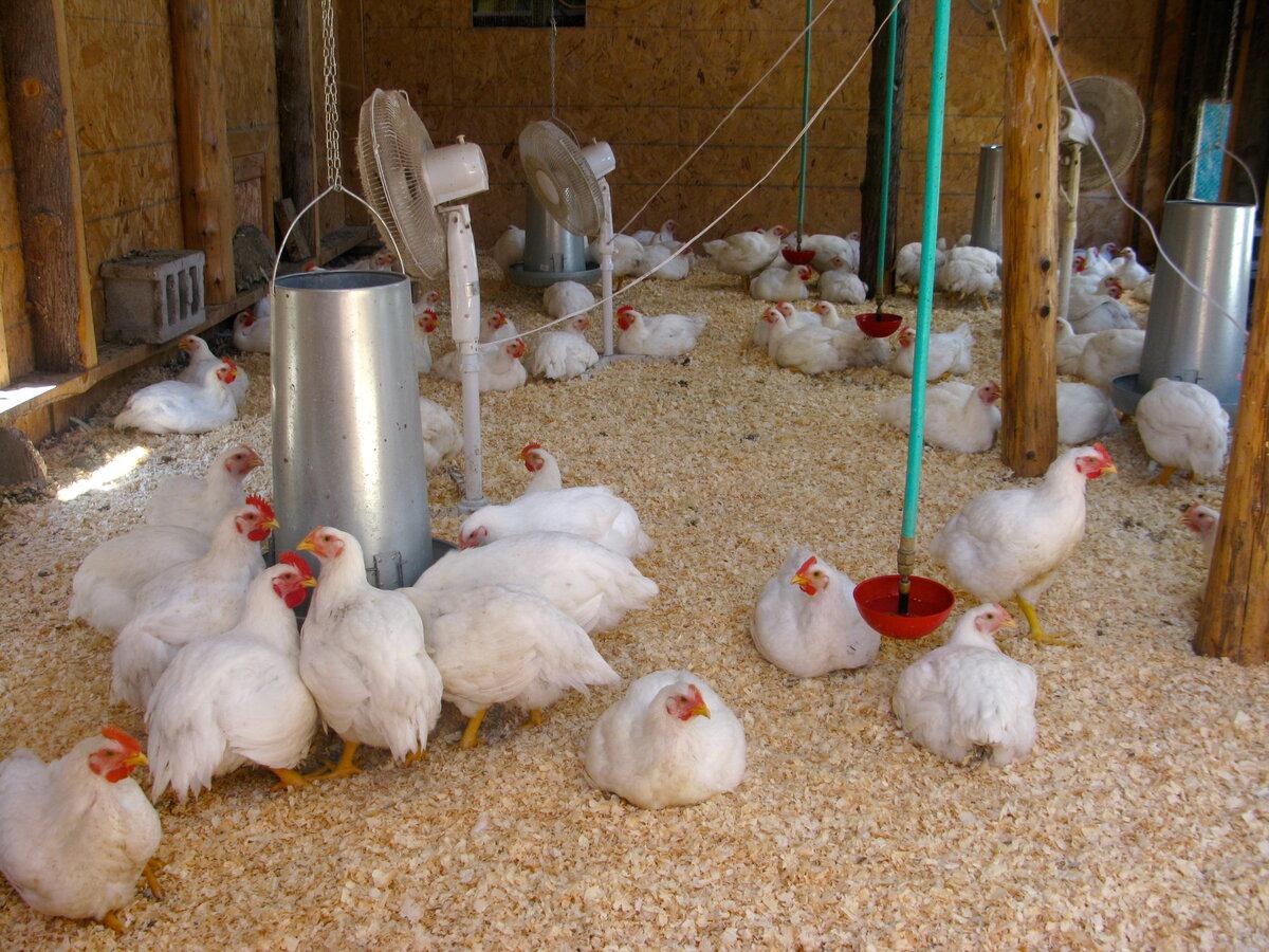 Содержание кур в домашних условиях для начинающих