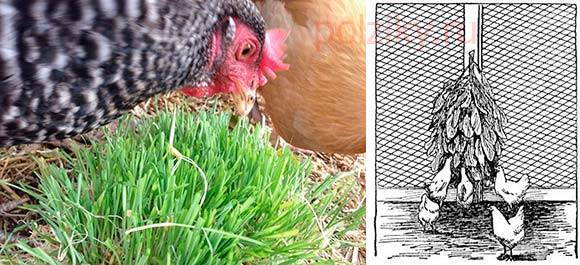 Трава для бройлеров: можно ли кормить жмыхом, зеленью, лопухом, отваром крапивы