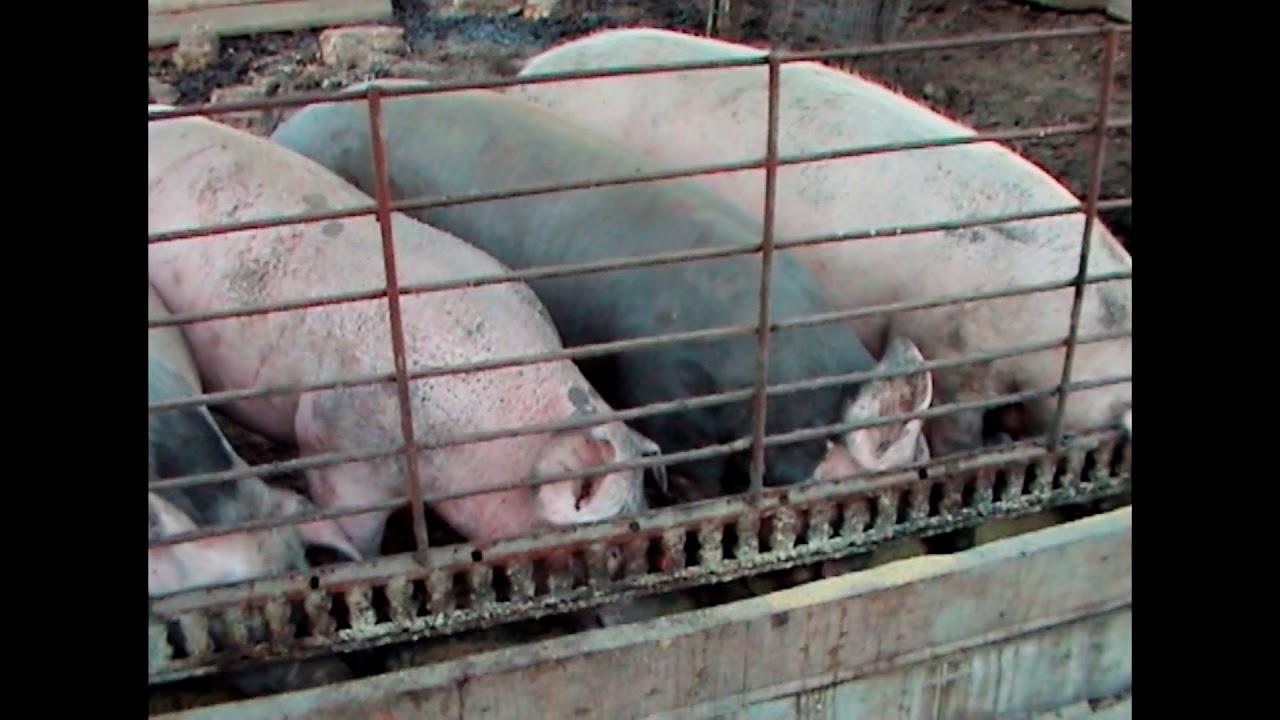 Как зарезать свинью, эффективные способы забоя