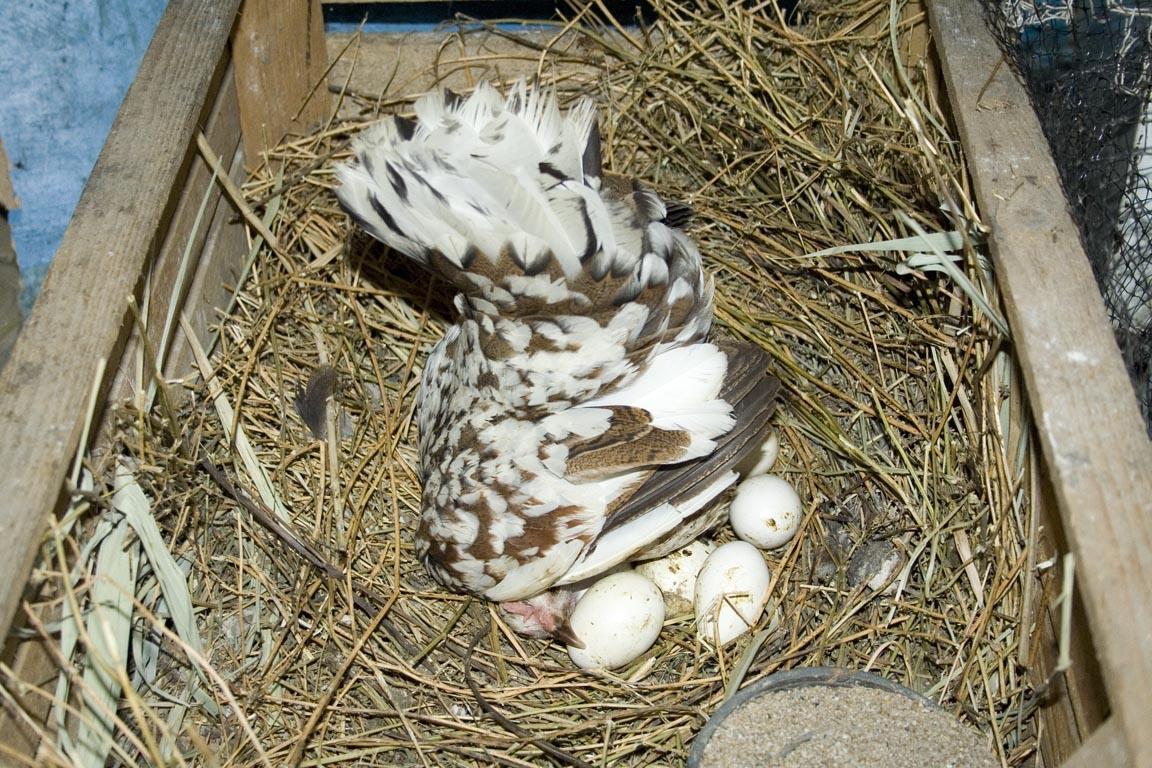 Сколько времени курица высиживает яйца?