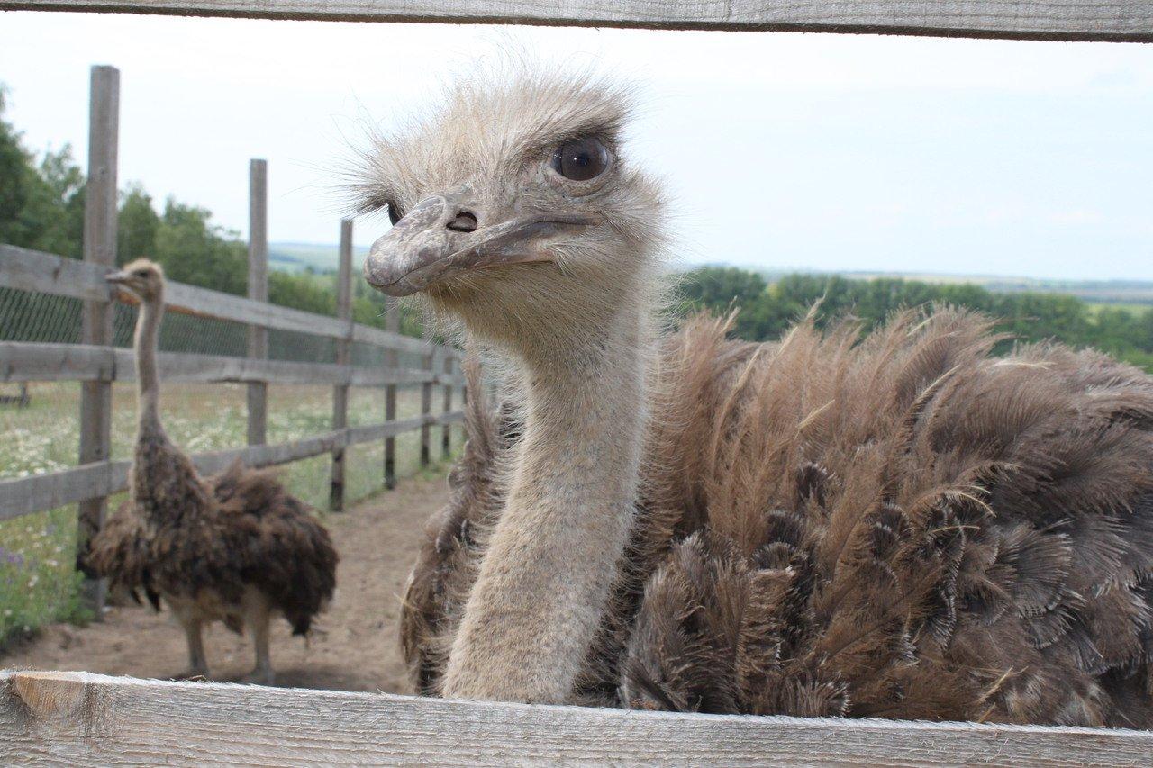 Разведение и содержание страусов