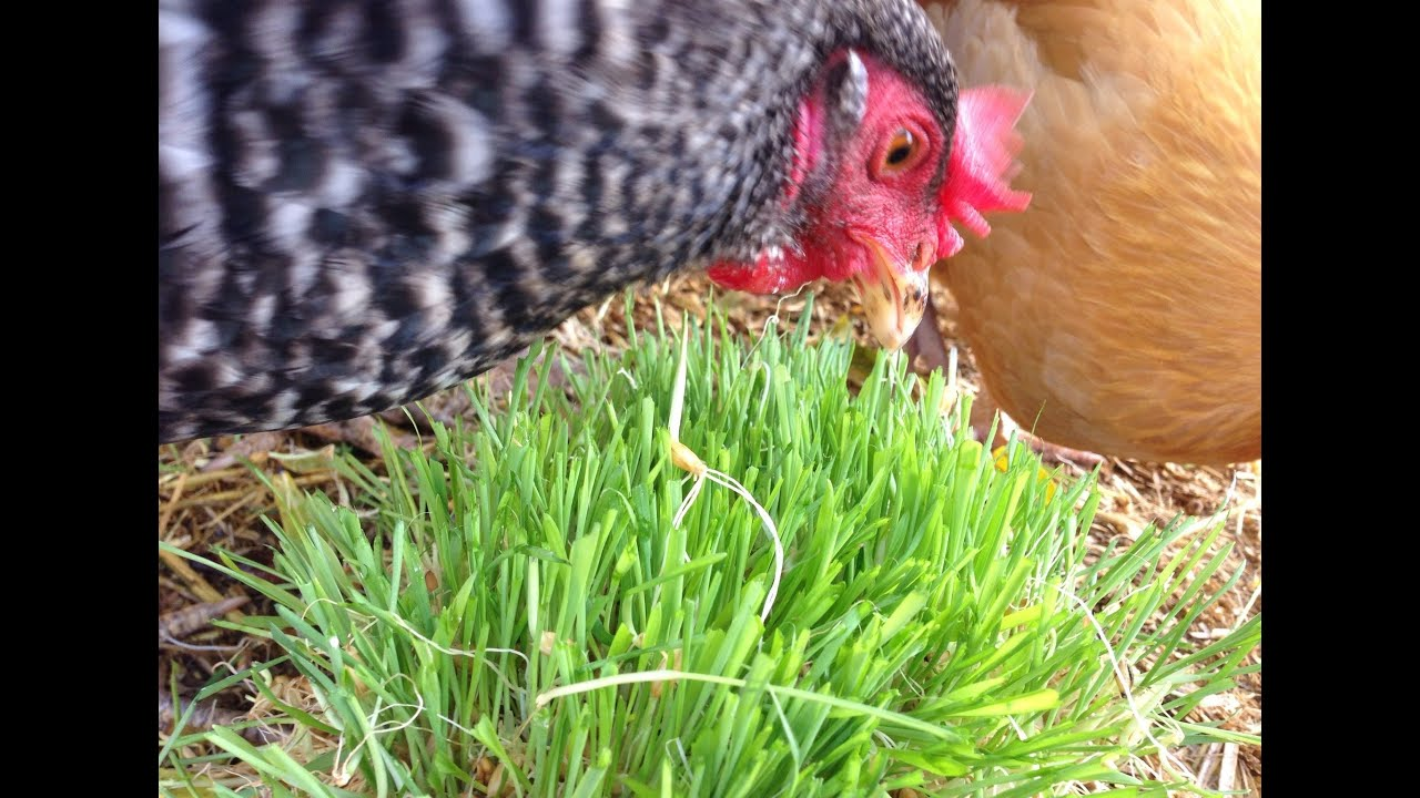 Трава для кур - польза, вред и как правильно давать