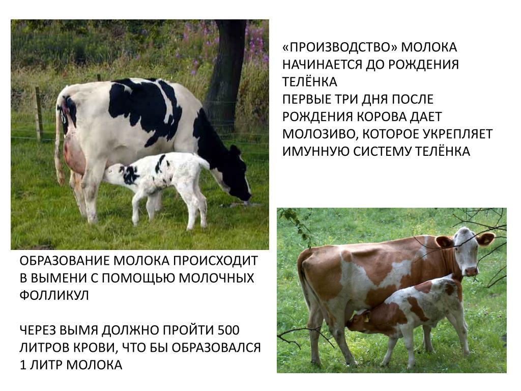Почему молоко горчит, причины порчи коровьего молока