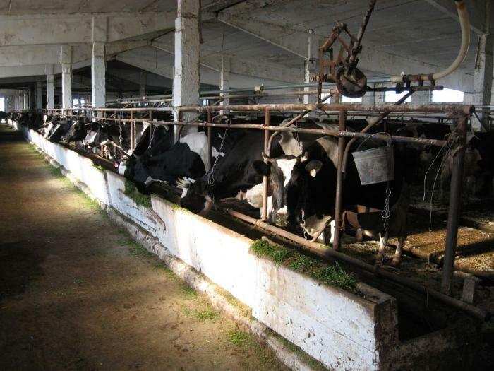 Беспривязное содержание крупного рогатого скота