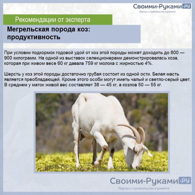 Лучшие молочные породы коз. советы по выбору, описание и характеристики