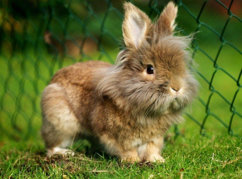 Самый маленький кролик: декоративные породы, описание, как отличить от обычного