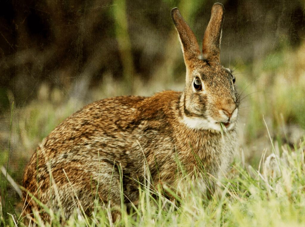 Язык кроликов - звуки, топот, развлечения и общение |