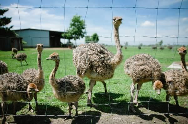 Разведение страусов в домашних условиях как бизнес: видео инструкция